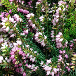 Erica Darleyensis (Heather) Tray of 6 Plants