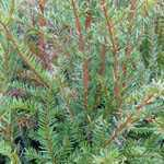 Taxus Baccata (English Yew) Rootball Hedging 90-100cm Height