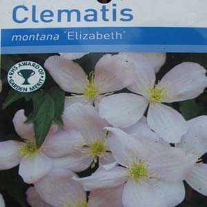 Clematis Montana Elizabeth (Climber)