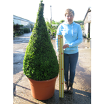 Buxus Sempervirens Pyramid/Cone (Box Hedge/Topiary Plant) 190cm Set of 2