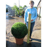 Buxus Sempervirens Ball (Box Hedge Ball/Topiary Ball) 60cm