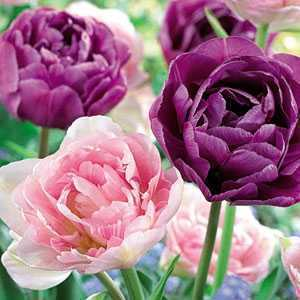 Tulip Bulbs Double Late Candy Sensation 25 Per Pack
