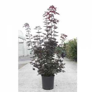 Acer Platanoides 'Crimson King' 8-10cm Girth Container Grown