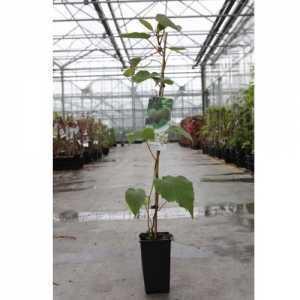 Actinidia Deliciosa 'Hayward' Kiwi Plant