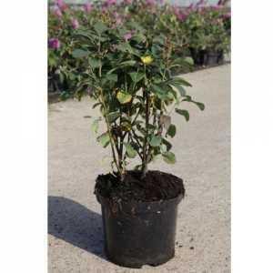 Amelanchier Alnifolia 'Obelisk' Juneberry