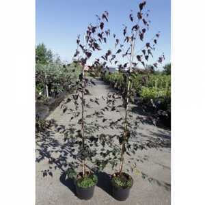 Betula Pendula 'Royal Frost' 5Ltr 100cm+