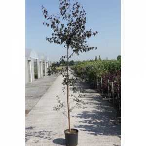 Betula Pendula 'Royal Frost' 12Ltr 125-150cm Sapling