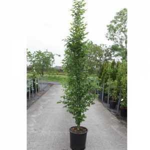 Carpinus Betulus 'Fastiagata' 24Ltr 175-200cm