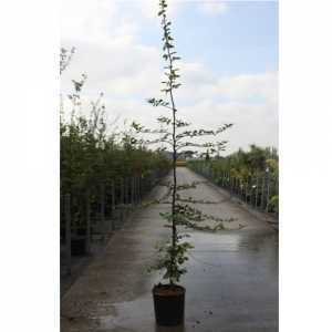 Carpinus Betulus 12Ltr 200cm+ Feathered