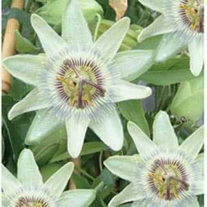 Passiflora (Passion Flower) Caerulea White Lightening