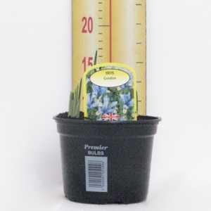 Iris 'Gordon' Potted Bulbs 13cm Pot
