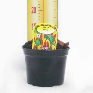 Potted Tulp Bulbs 3ltr