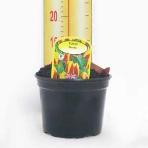 Potted Tulp Bulbs 3ltr