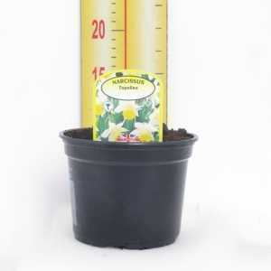 Narcissus 'Topolino' Potted Bulbs 13cm