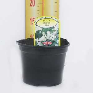 Scilla Siberica 'Alba' Potted Bulbs 13cm