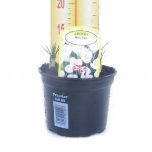 Crocus Biflorus 'Miss Vain' Potted Bulbs 13cm