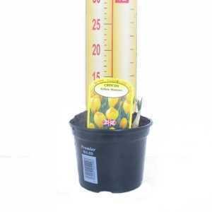 Crocus 'Yellow Mammo' Potted Bulbs 13cm