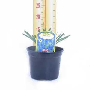 Muscari Armeniacum Potted Bulbs 13cm