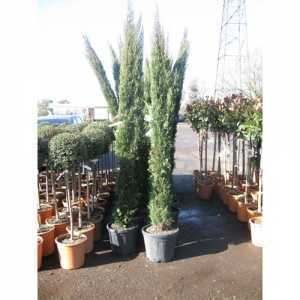 Cupressocyparis Sempervirens Stricta Italian Cypress 250cm 25ltr Pot