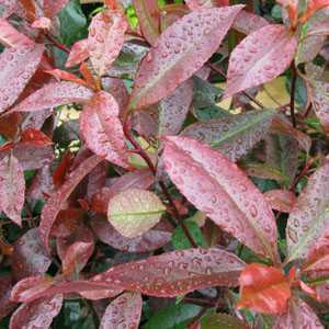 Photinia Fraseri Red Robin 1/2 Standard 40-50cm Head 18.5Ltr