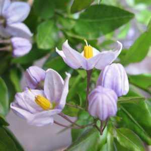 Solanum Laxum Potato Vine 3ltr