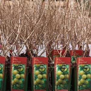 Ribes Gooseberry Uva Crispa Invicta 3Ltr