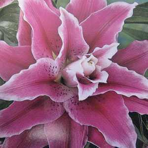 Lilium (Lily) Oriental Double Sweet Rosy Bulbs 3 Per Pack