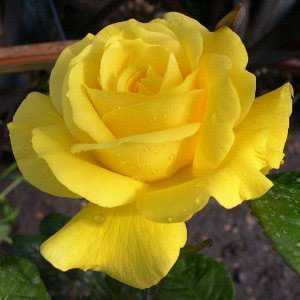 Rose 1/2 Standard Golden Wedding/50th Anniversary Hybrid Tea Rose 7.5ltr