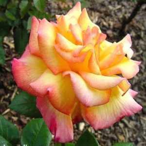 Rose 1/2 Standard Peace Hybrid Tea Fragrant 80cm Clear Stem 7.5ltr
