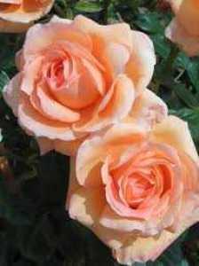 Rose 1/2 Standard Lady Marmalade Floribunda 80cm Clear Stem 7.5ltr