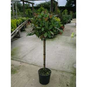 Photinia Fraseri Red Robin 1/4 Standard 9.5ltr