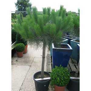 Pinus Pinea Stone Pine 1/2 Standard 25ltr Pot