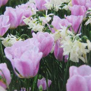 Tulip Bulbs And Narcissus Bulbs Simply Smashing 25 Per Pack