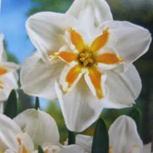 Daffodil Bulbs Butterfly Marie Jose 5 Per Pack