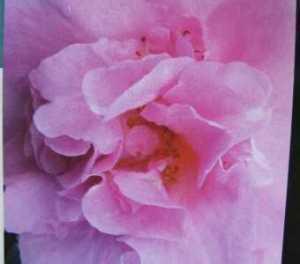 Camellia Japonica Roze 60-80cm