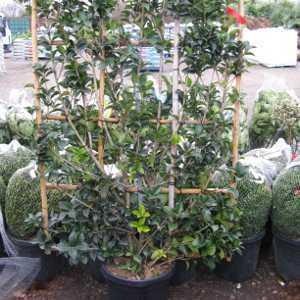Osmanthus Aquifolium 30ltr 100x150 frame