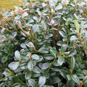 Ilex Crenata 'Kinme' (Japanese Bonsai Holly) 30cm-35cm ball 12ltr