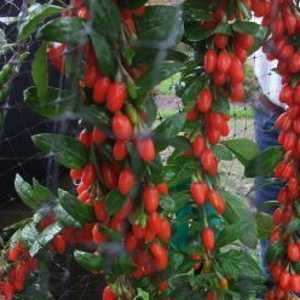 Lycium Barbarium Big Lifeberry Goji Berry 3.6ltr