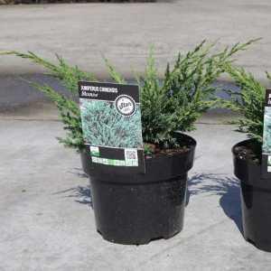 Juniperus chin. Blaauw