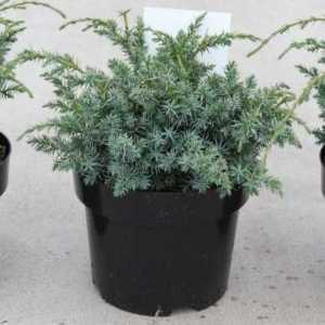 Juniperus chin. 'Blue Alps'