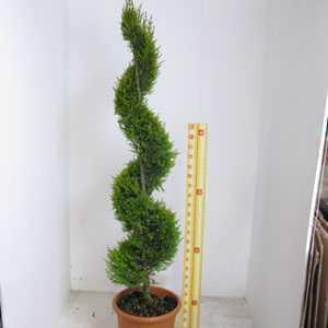 Cupressus Macrocarpa Goldcrest 25ltr 150-160 Spiral