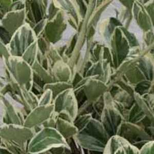 Euonymus Japonicus President Gaulthier Trellis Climber 1.4mtr 20ltr