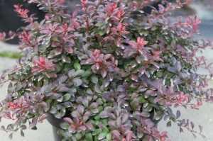 Berberis thunb. 'Atropurpurea Nana'