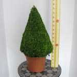 Buxus Sempervirens Pyramid (Pyramid Box) 70-80cm Plant Height 12 Litre Pot
