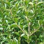 Ligustrum Ovalifolium Aureum Yellow/Golden Privet Hedging Plant 3.6 Ltr