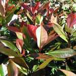 Photinia x Fraseri Little Red Robin (Hedging) 3.5 Ltr