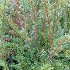 Yew / Taxus Baccata