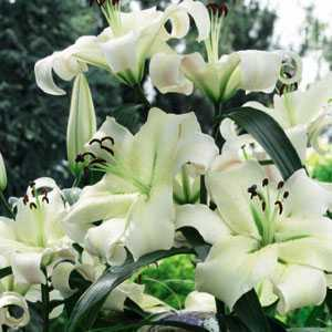 Tower Lillies